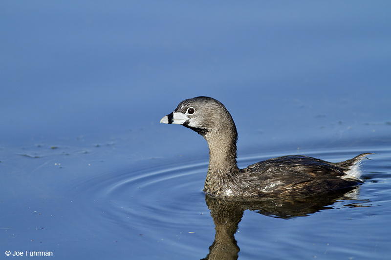 Pied-billed Grebe-breeding L.A. Co., CA   Aug. 2010