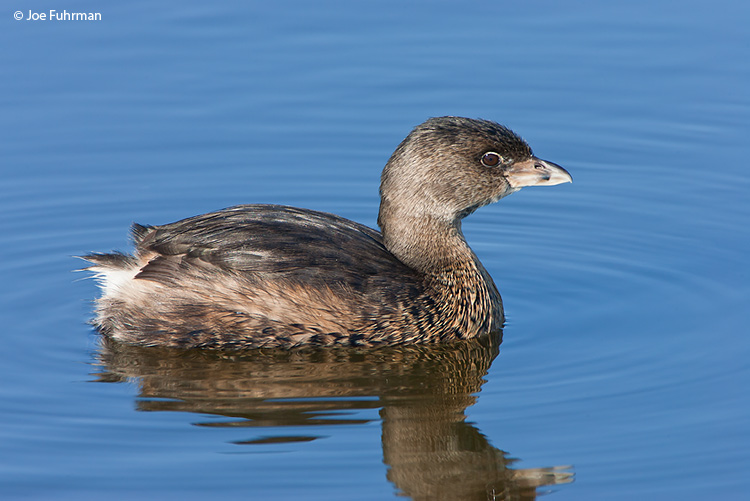 Pied-billed Grebe L.A. Co., CA   Oct. 2006