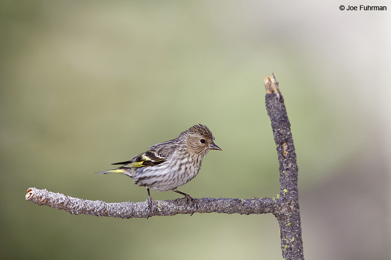 Pine Siskin Kern Co., CA June 2013