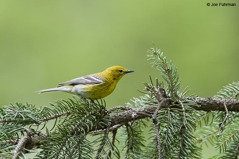 Pine Warbler Cattaraugus Co., NY    May 2012