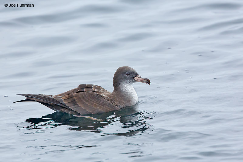 Pink-footed Shearwater Santa Cruz Co., CA August 2016