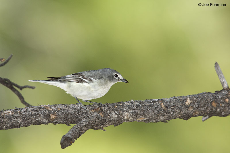 Plumbeous Vireo Clark Co., NV   May 2014