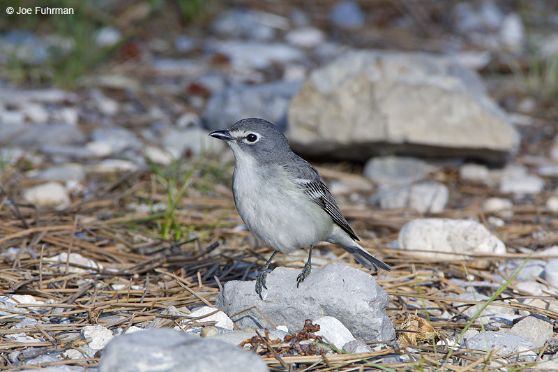 Plumbeous Vireo Clark Co., NV   June 2009
