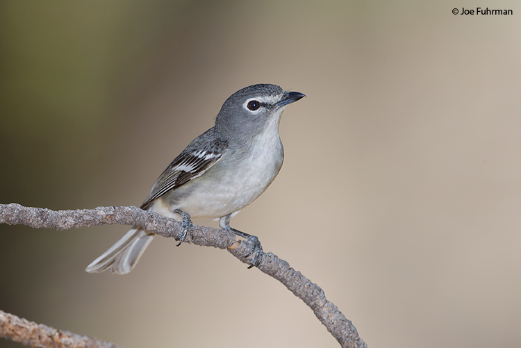 Plumbeous Vireo Pima Co., AZ    May 2011