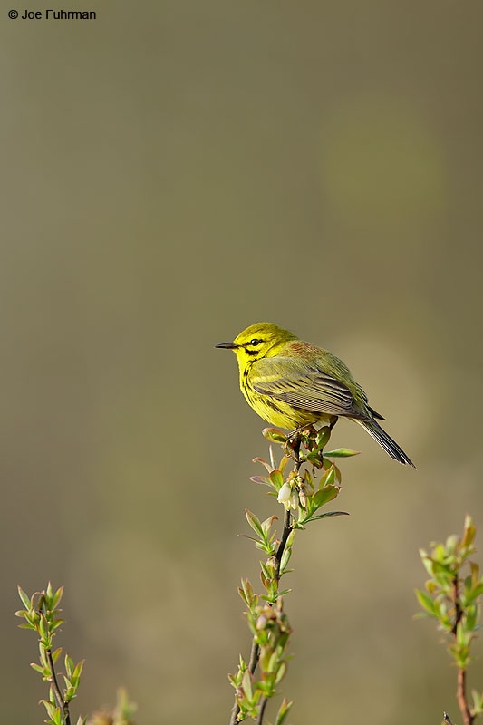 Prairie Warbler Lackawanna Co., PA   May 2015