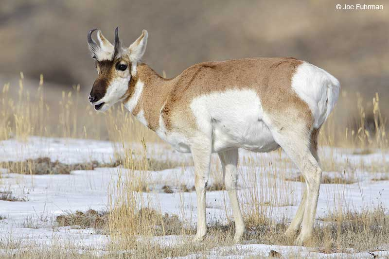 Pronghorn Antelope Park Co., WY-Yellowstone National Park   Jan. 2010