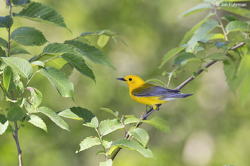 Prothonotary Warbler Brazoria Co., TX   May 2014