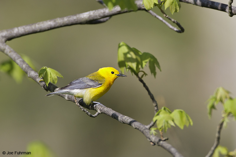Prothonotary Warbler Cuyahoga Co., OH   May 2009