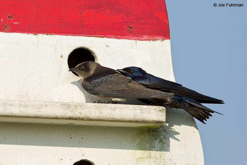 Purple Martin Chambers Co., TX   April 2014