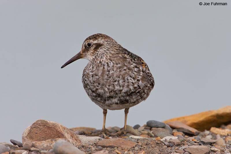 Purple Sandpiper adult breedingSvalbard, Norway   June 2008