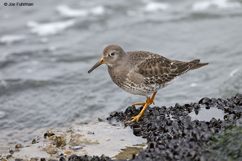 Purple Sandpiper Ocean Co., NJ Jan. 2013