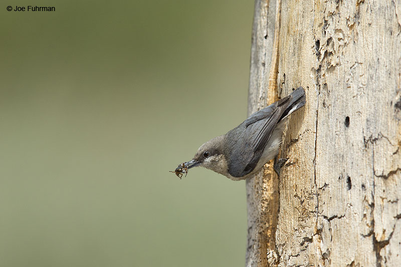 Pygmy Nuthatch Mono Co., CA   June 2014