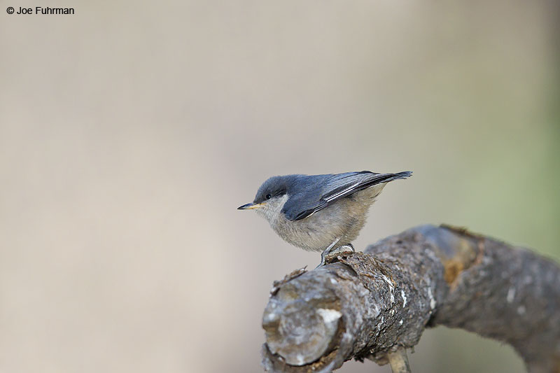 Pygmy Nuthatch Kern Co., CA   June 2013