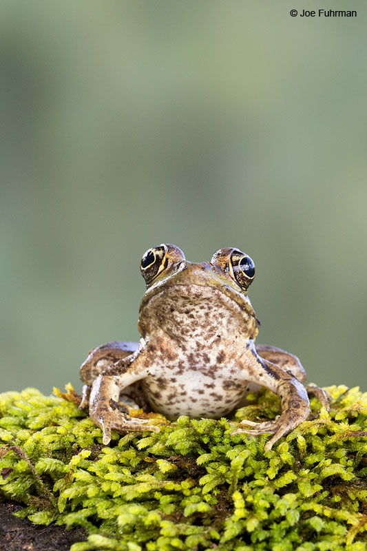 Rain_Forest_Frog_16A4702