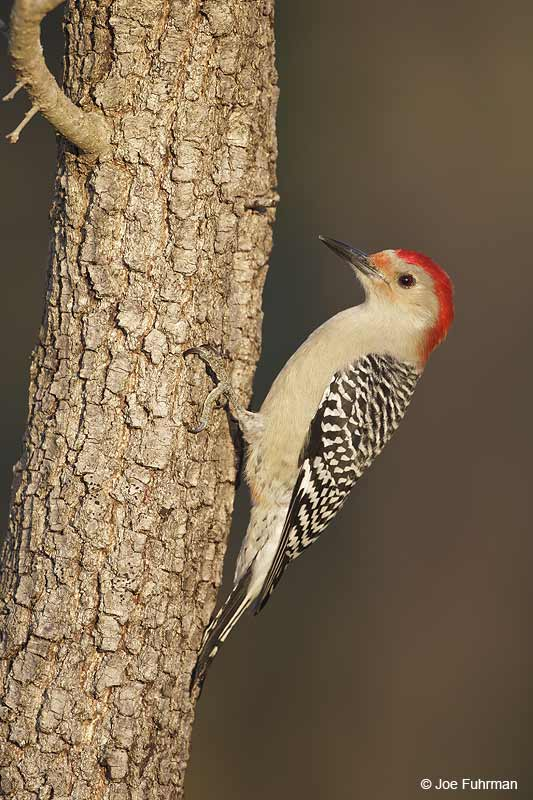 Red-bellied Woodpecker Sarasota Co., FL   Dec. 2012