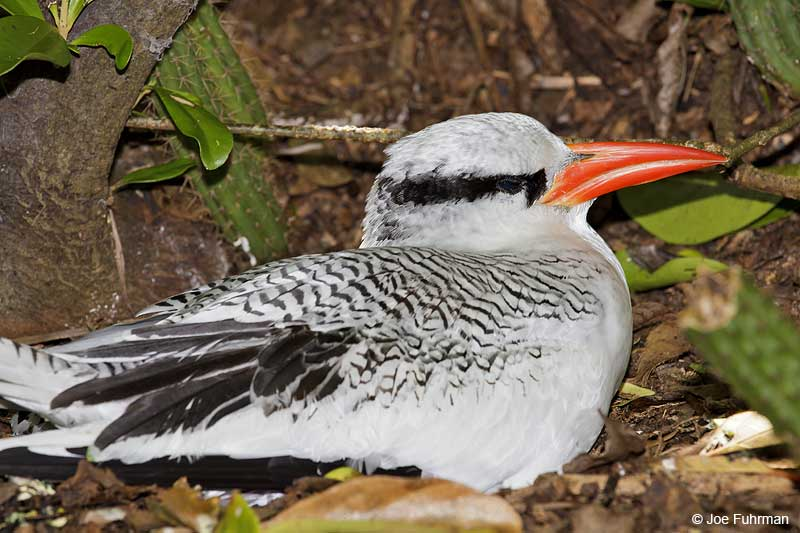 Red-billed Tropicbird-nesting Trinidad And Tobago   Dec. 2012