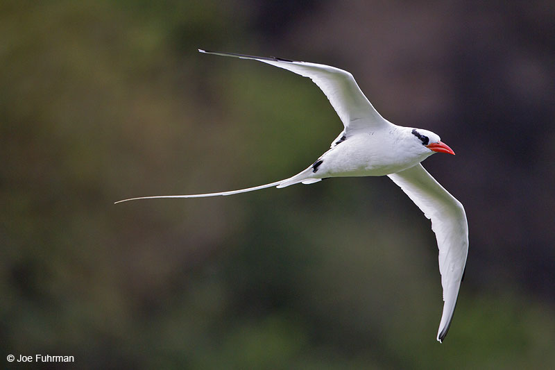 Red-billed Tropicbird Trinidad And Tobago   Dec. 2012