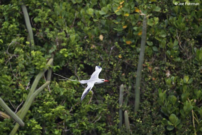 Red-billed Tropicbird-Little Tobago Island Trinidad And Tobago   Dec. 2012