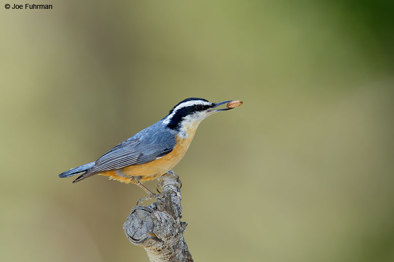 Red-breasted NuthatchKern Co., CA May 2015