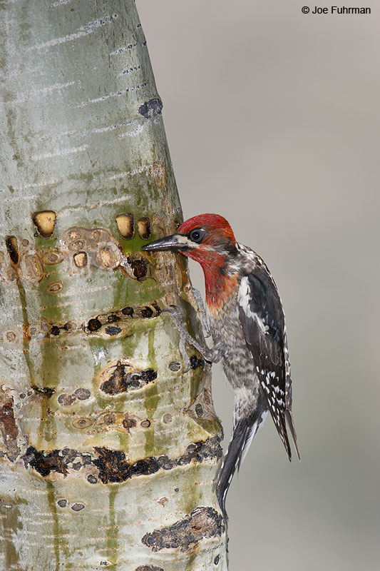 Red-breasted Sapsucker (at sap wells) Mono Co., CA   June 2014