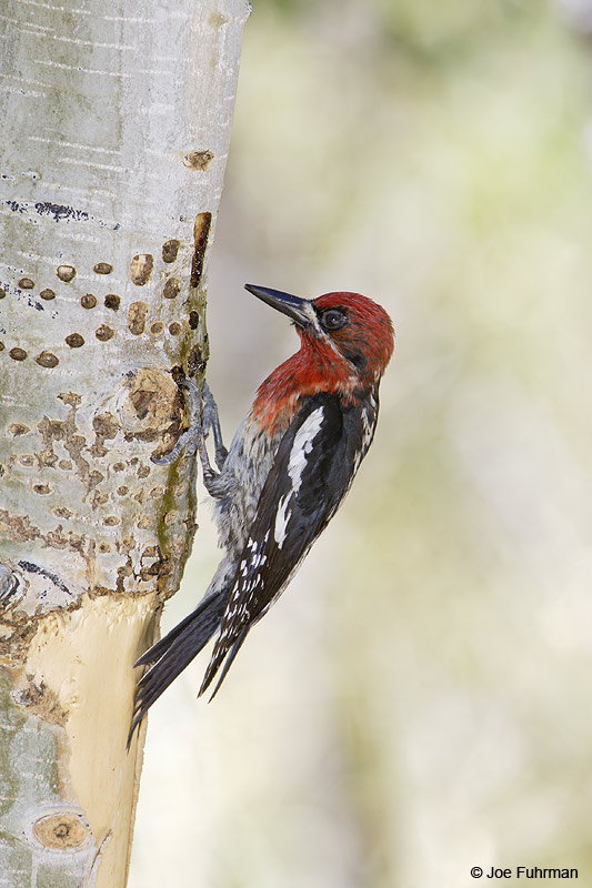 Red-breasted Sapsucker Mono Co., CA   June 2007