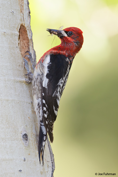 Red-breasted Sapsucker Mono Co., CA    June 2011