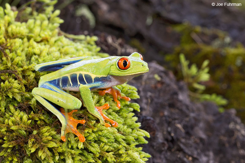 Red-eyed_Tree-Frog_16A4511