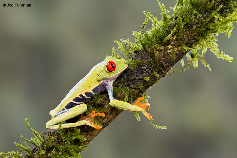Red-eyed_Tree-Frog_16A4561