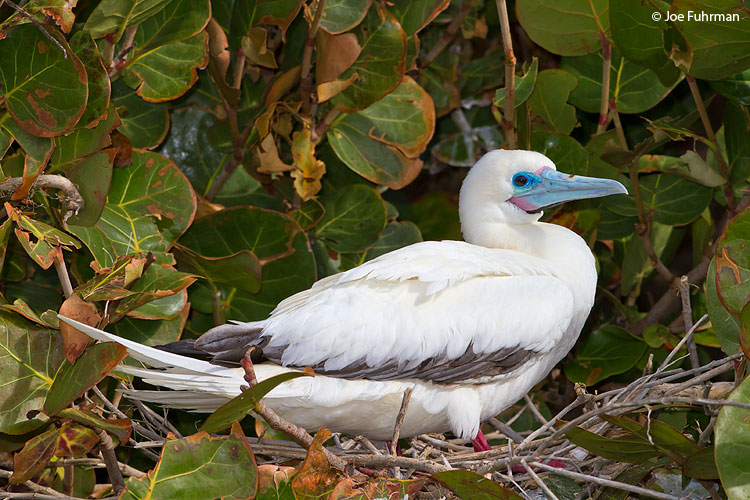Red-footed Booby Eastern Island/Midway Atoll, HA   March 2010