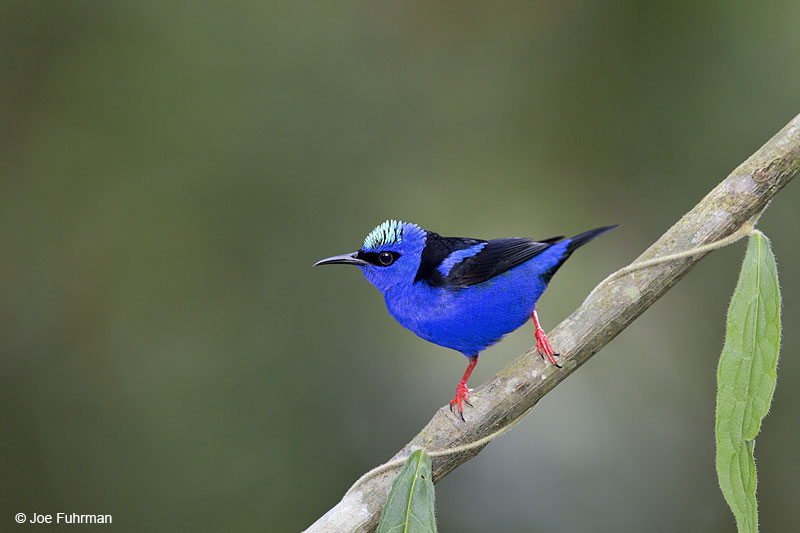 Red-legged Honeycreeper Laguna del Lagarto Lodge, Costa Rica   Jan. 2014