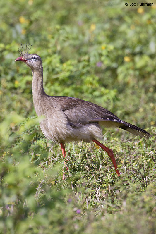 Red-legged Seriema Miranda, MS  BRZ March 2008 c. Joe Fuhrman