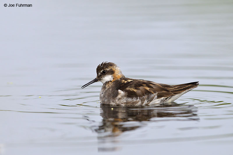 Red-necked Phalarope Iceland   July 2013