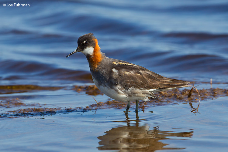 Red-necked Phalarope Seward Peninsula, AK    June 2011