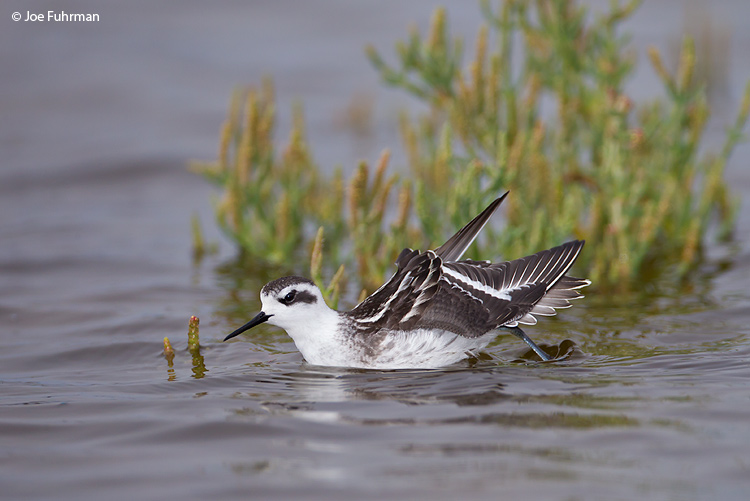 Red-necked Phalarope Ventura Co., CA   Sept. 2011