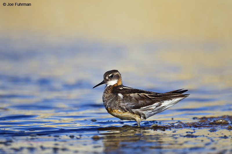 Red-necked Phalarope Barrow, AK    June 2012
