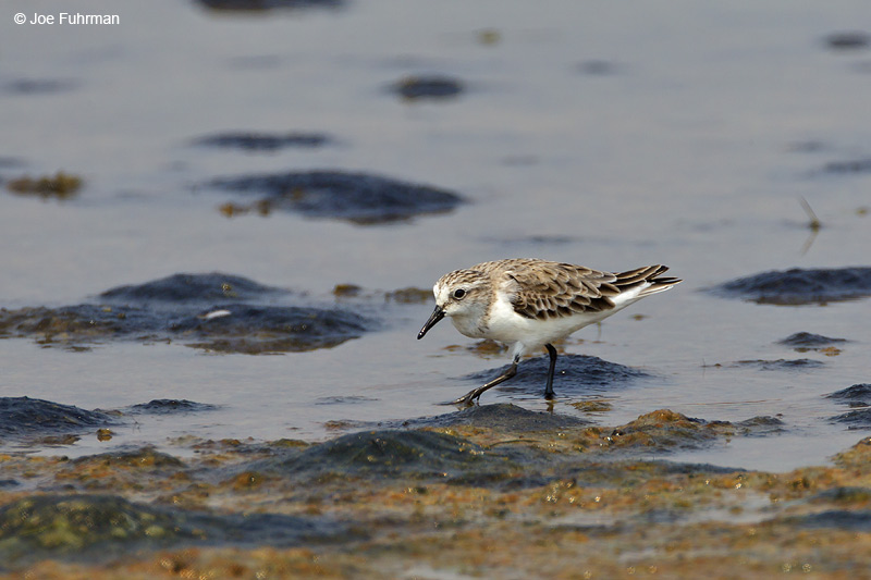 Red-necked Stint  Thailand   Feb. 2012