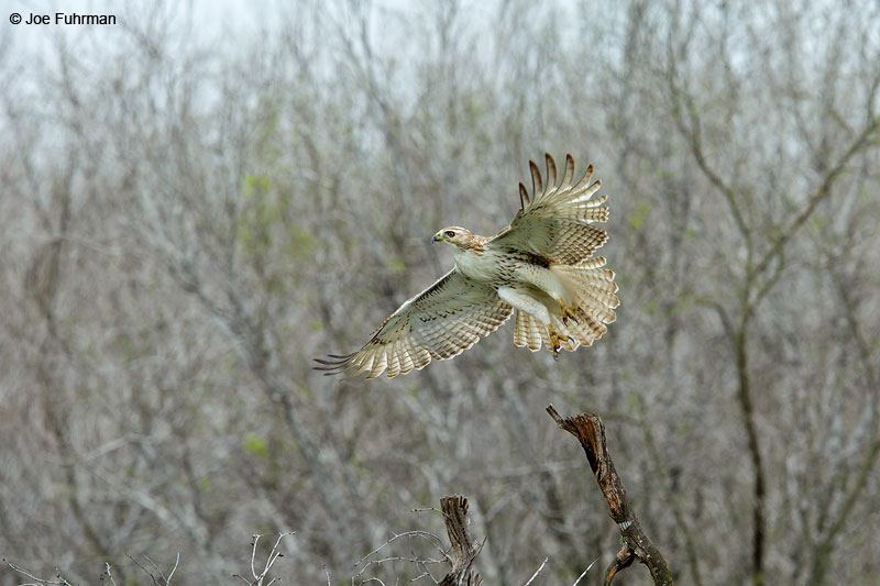 Red-tailed Hawk (Krider's race) Brooks Co., TX March 2015