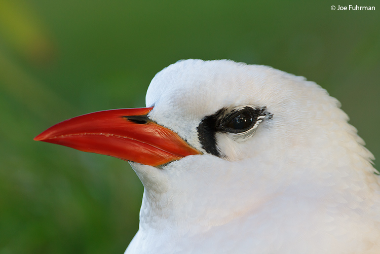 Red-billed Tropicbird Midway Island, HA March 2010