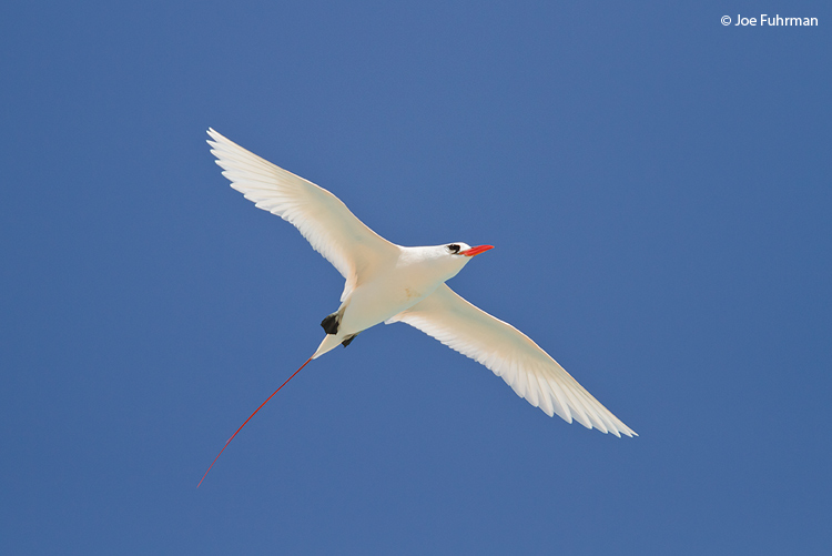 Red-tailed Tropicbird Midway Atoll, HA March 2010