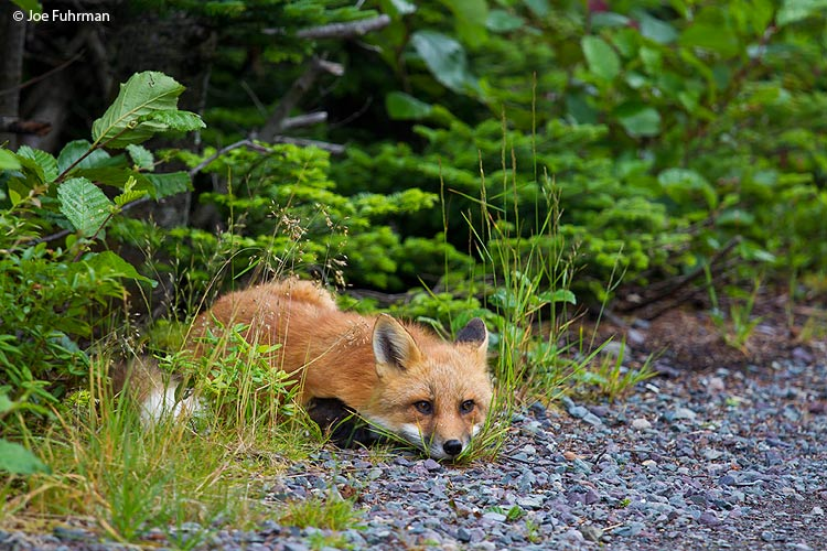 Red Fox Newfoundland, Canada August 2011