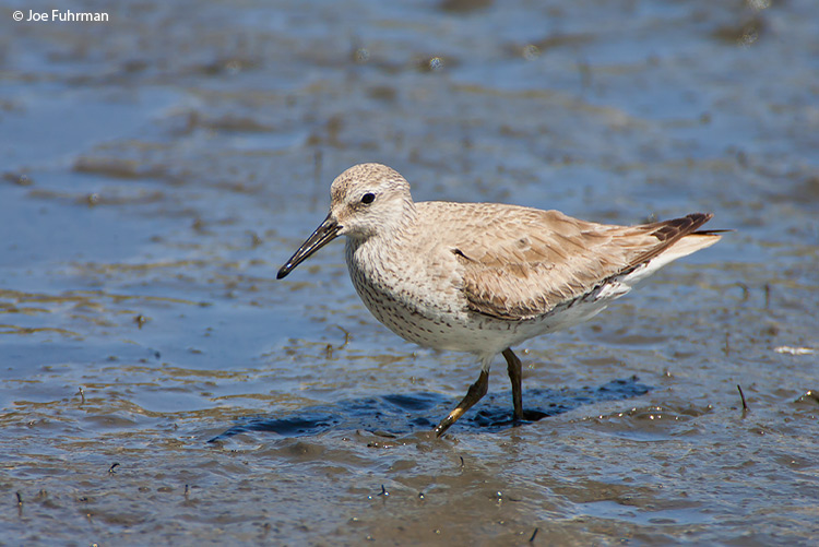 Red Knot March 2008  L.A. Co.,  CA  USA c. Joe Fuhrman