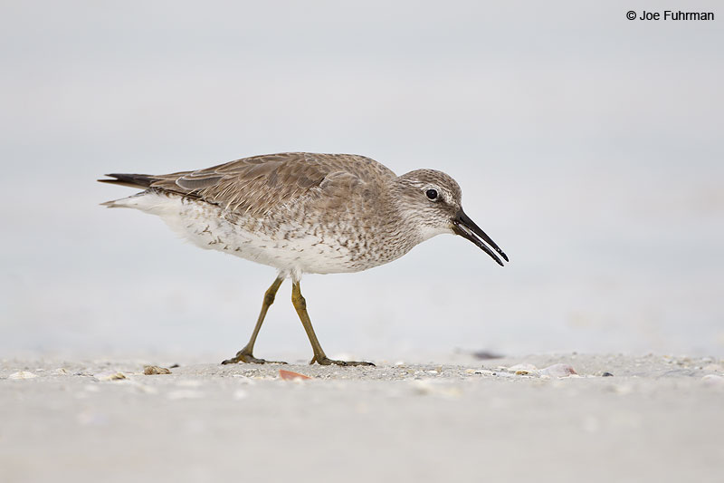 Red Knot winter plumage Lee Co., FL   Dec. 2012