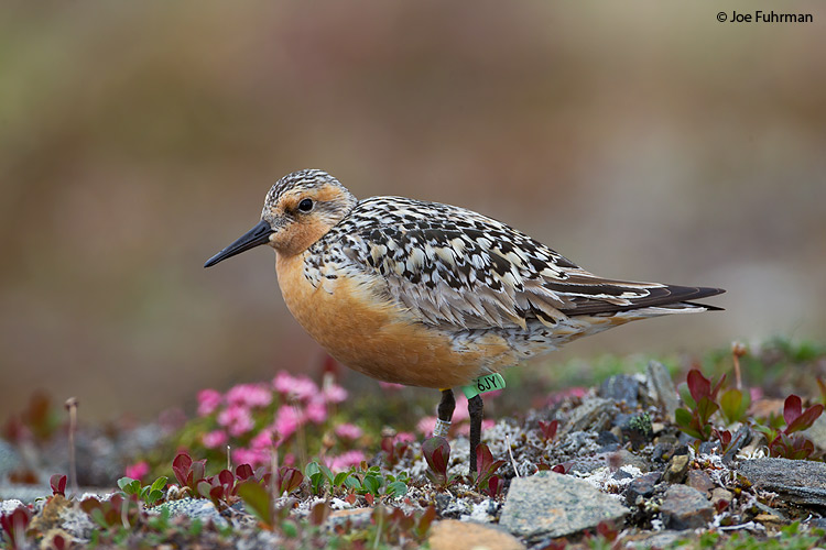 Red Knot Seward Peninsula, AK   June 2011