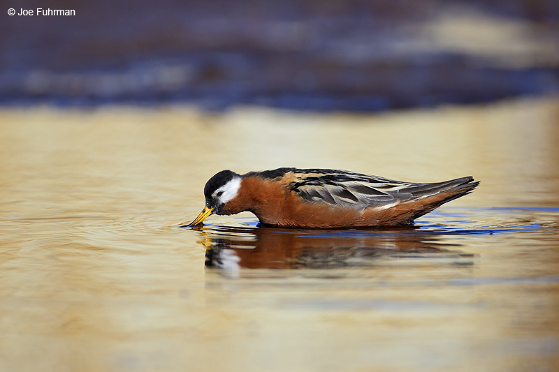 Red Phalarope Barrow, AK    June 2012