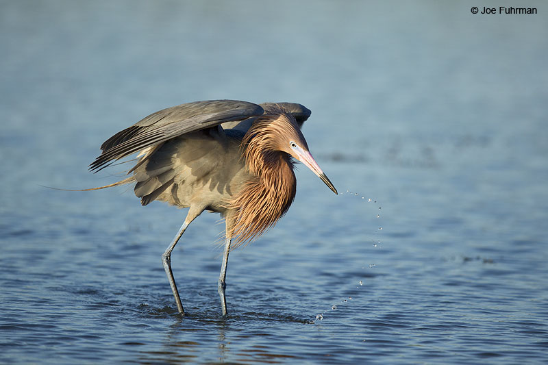 Reddish Egret Galveston, TX May 2014