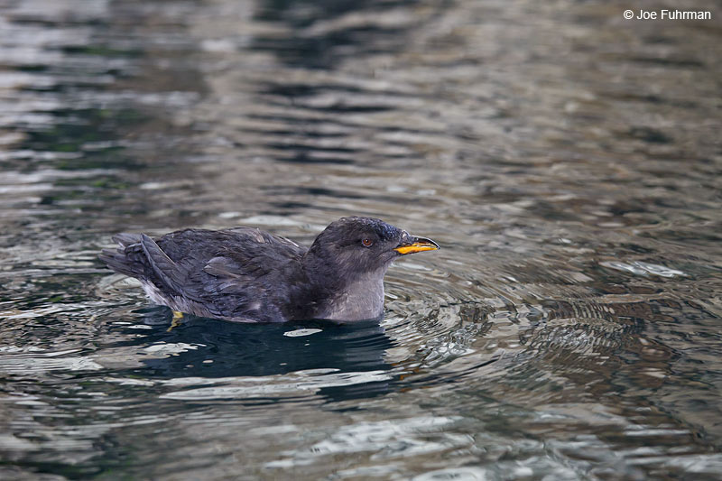 Rhinoceros Auklet Seward, AK Oct. 2012