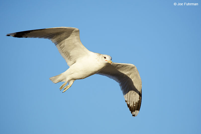 Ring-billed Gull L.A. Co., CA    February 2016