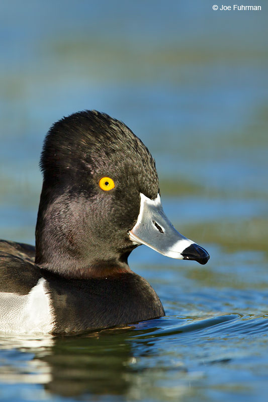 Ring-necked Duck L.A. Co., CA Jan. 2015