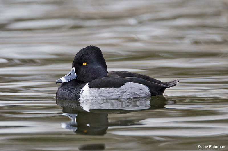 Ring-necked Duck Clark Co., NV   Feb. 2011