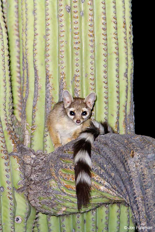 Ringtail Pima Co., AZ April 2009